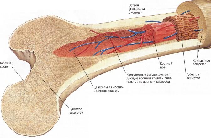 Образовательный портал ru Всё для учебы работы и отдыха  Снаружи кость защищена плотной соединительнотканной оболочкой надкостницей или периостом Сквозь надкостницу проходят кровеносные сосуды