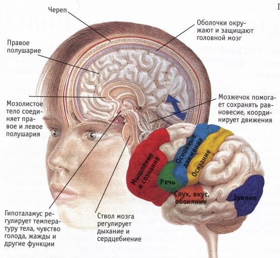 Строение головного мозга. Инфографика сайта claw.ru