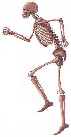 Добавочный скелет